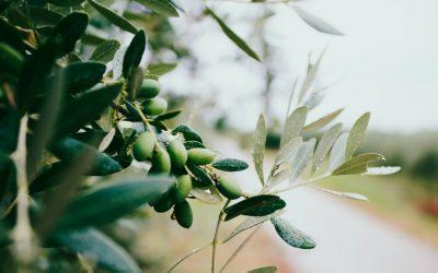 Pedimos al Gobierno de Aragón que informe de los controles realizados sobre la calidad del aceite de oliva